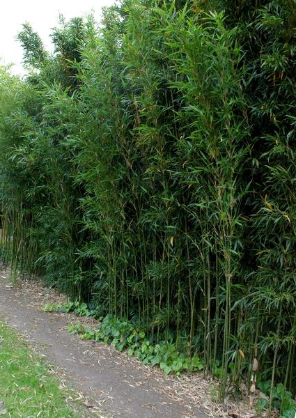 pseudosasa japonica arrow bamboo pro 1 landscaping. Black Bedroom Furniture Sets. Home Design Ideas